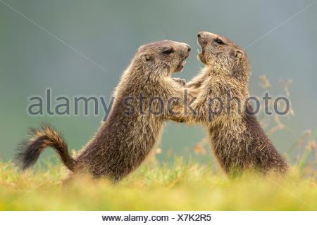 alpine marmot (Marmota marmota), two romping young animals, Austria, Kaernten, Hohe Tauern National Park, Grossglockner - Stock Photo
