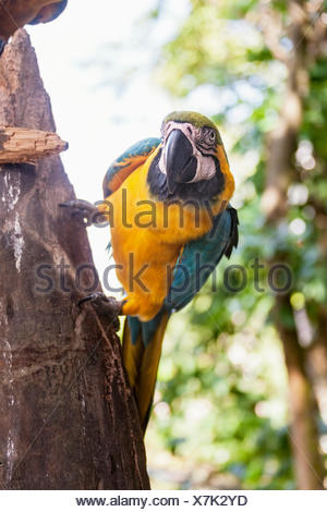 Gold and Blue Macaw (Ara ararauna) perching on tree trunk, Orinoco Delta, Venezuela - Stock Photo
