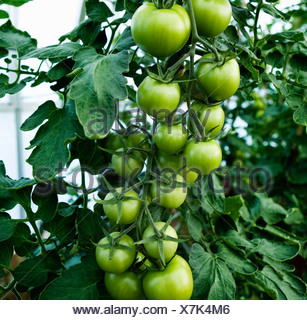 Green tomatoes growing on the stem - Stock Photo