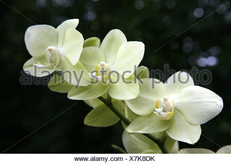 Orchid (Orchidaceae), flower - Stock Photo