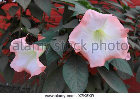 Pink datura flower, Catura metel Linn - Stock Photo