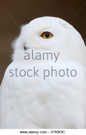 Snowy Owl (Bubo scandiacus, Bubo scandiaca, Nyctea scandiaca), male, portrait, occurrence in northern Europe, Siberia - Stock Photo