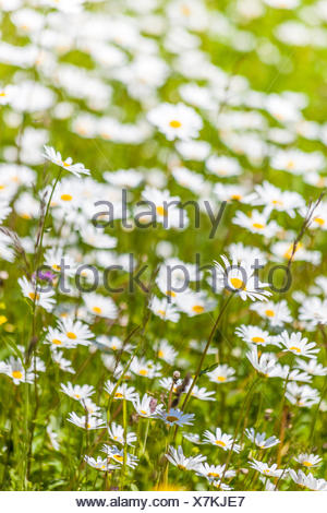 botany, summerly mountain meadow in the Upper Villnoesstal near St. Magdalene, South Tyrol, Italy, Additional-Rights-Clearance-Info-Not-Available - Stock Photo