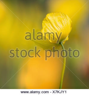 Poppy, Welsh poppy, Meconopsis, Meconopsis cambrica, Beauty in Nature, Colour, Contemporary, Cottage garden plant, Creative, Delicate, Dreamlike, Flower, Autumn Flowering, Spring Flowering, Summer Flowering, Frost hardy, Growing, Outdoor, Perennial, Plant, West Europe indigenous, Wild flower, Yellow, - Stock Photo