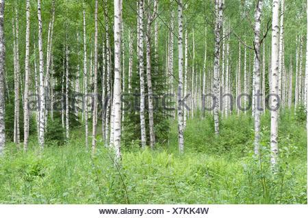 Silver Birch woodland, Betula pendula, Finland - Stock Photo