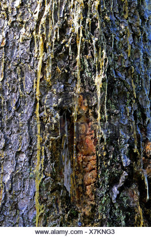 Common Spruce, Norway Spruce (Picea abies) trunk with resin flux - Stock Photo