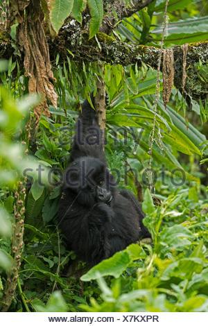 A mountain gorilla in Volcanoes National Park. - Stock Photo