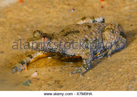 yellow-bellied toad, yellowbelly toad, variegated fire-toad (Bombina variegata), yellow-bellied toad sitting at the edge of a puddle, Romania - Stock Photo
