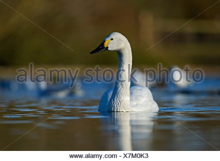 Bewick's Swan Cygnus columbianus Slimbridge Glos winter - Stock Photo