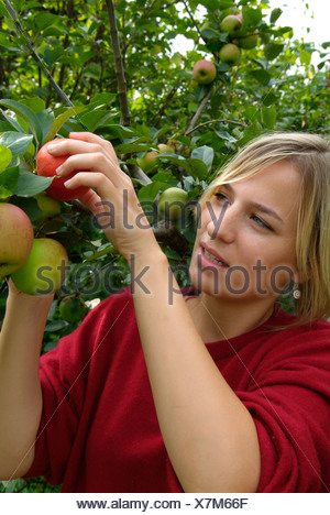 Young woman picking apples, Goldpamaene malus domesticus - Stock Photo
