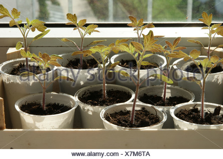 Tomato-seedlings - Stock Photo