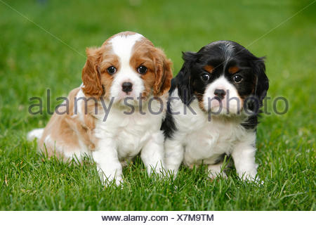 Cavalier King Charles Spaniel, two puppies on grass, blenheim and tricolour, 5 weeks - Stock Photo