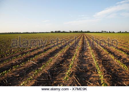 Field,Seedling,Cotton,Farm,Arkansas - Stock Photo