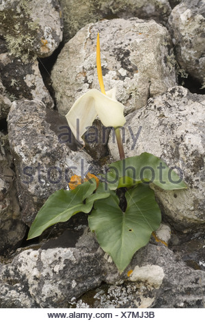 Cretan arum (Arum creticum), blooming, Greece, Krpathos - Stock Photo
