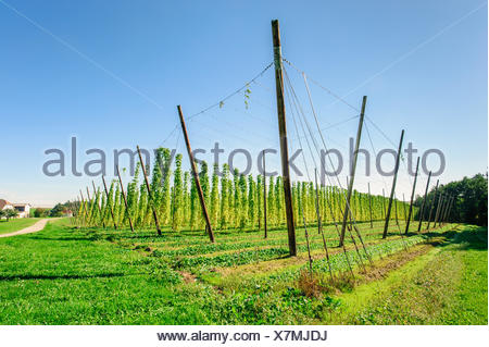 Hop plantation in Upper Austria - Stock Photo