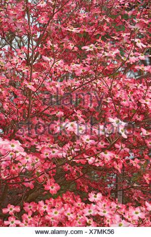 Flowering Dogwood (Cornus florida). Called American Dogwood and Eastern Dogwood also. State tree of North Carolina, West Virginia, Missouri and - Stock Photo