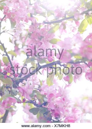Pink apple-blossom Sweden. - Stock Photo