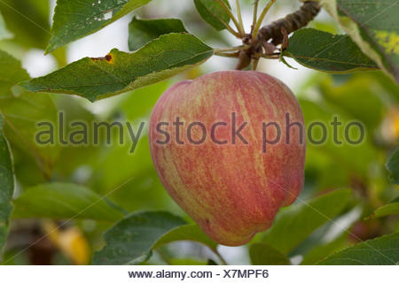 Apple (Malus sp.) on tree, Altes Land, Lower Saxony, Germany - Stock Photo