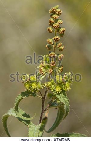 burweed, ragweed (Ambrosia spec.), USA, Arizona - Stock Photo