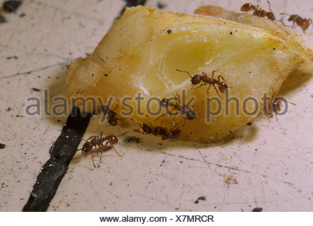 Ant Myrmica rubra Ants eating raw apple in kitchen S - Stock Photo