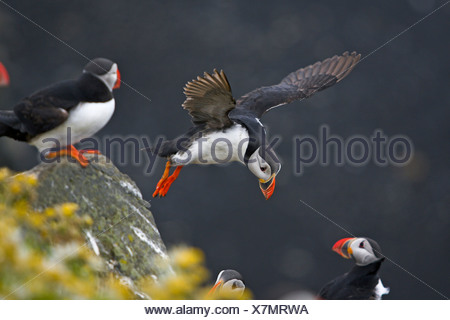 Atlantic puffin, Common puffin (Fratercula arctica), landing, Iceland, Kap Dyrholaey - Stock Photo