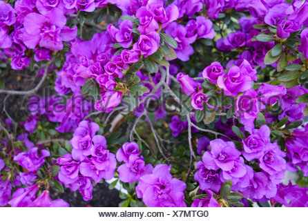 Azalee, Azalea, (Rhododendron) - Stock Photo