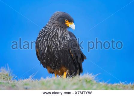 Striated Caracara (Phalcoboenus australis), Falkland Islands - Stock Photo