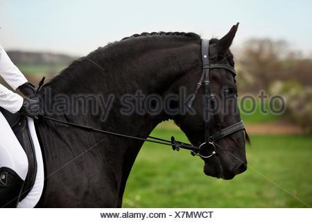 Friesian or Frisian horse, stallion, English bridle, head position in profile - Stock Photo