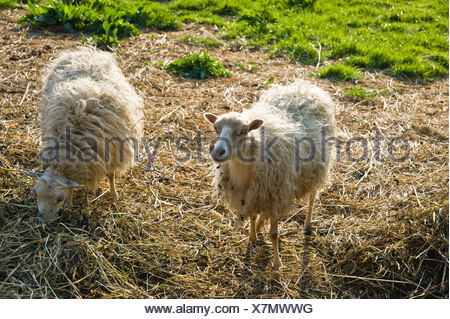 Skudde sheep, domestic sheep, near the Wallmuseum, Oldenburg in Holstein, Baltic Sea, Schleswig-Holstein - Stock Photo