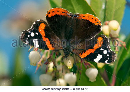 Red Admiral butterfly (Vanessa atalanta), female, Geneva, Canton of Geneva, Switzerland - Stock Photo