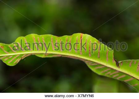 hart's tongue, European harts-tongue fern (Asplenium scolopendrium, Phyllitis scolopendrium), sori on the underside of a leaf, Germany - Stock Photo