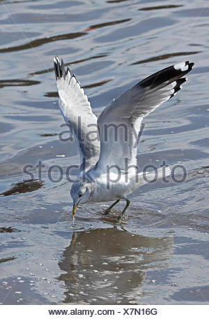 Kamchatka Gull (Larus canus camtschatchensis) adult in flight feeding at outflow of fish processing plant  Choshi; Chiba Prefecture, Japan          Fe - Stock Photo