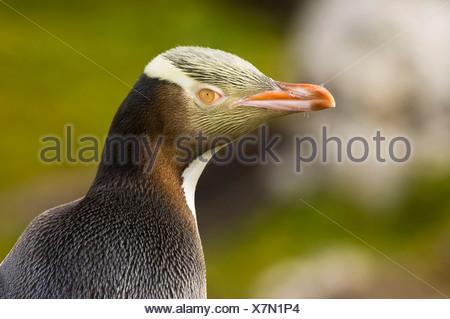 Yellow-eyed Penguin - Stock Photo