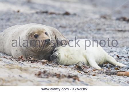 Grey seal, also Atlantic or horsehead seal (Halichoerus grypus), pup lying against mother, Heligoland, Schleswig-Holstein - Stock Photo