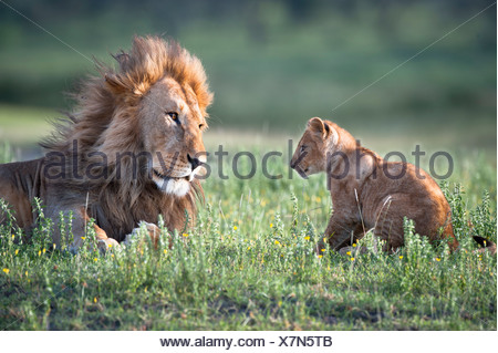 Male African Lion playing with 4 month old cub, Big Marsh, Ndutu, Serengeti, Tanzania - Stock Photo