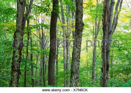 Forest, Monongahela National Forest, West Virginia. - Stock Photo
