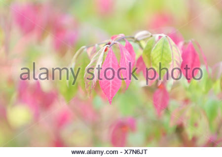 Priest's caps, branch, leaves, autumn staining, - Stock Photo