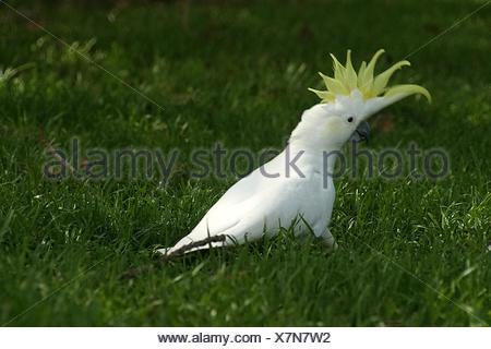 kakadu in grass - Stock Photo