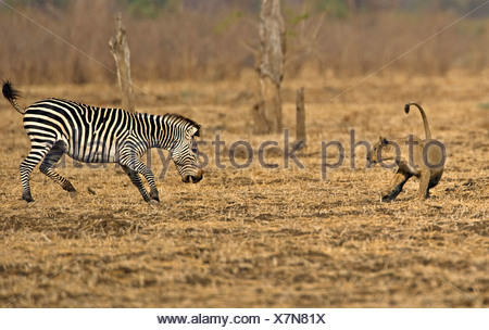 African Lion (Panthera leo) playing with Burchells Zebra -originally chased but not serious. Luangwa Valley. Zambia. Africa - Stock Photo