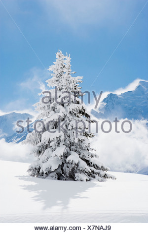Fir tree covered in fresh snow - Stock Photo