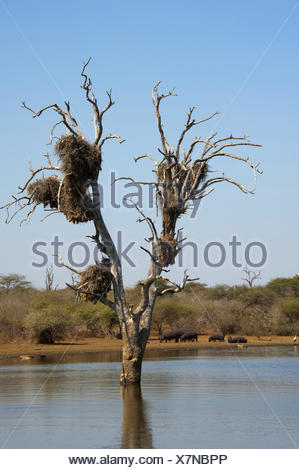 hippopotamus, hippo, Common hippopotamus (Hippopotamus amphibius), herd at a lake shore with a tree standing in the water, South Africa, Krueger National Park, Lower Sabie - Stock Photo