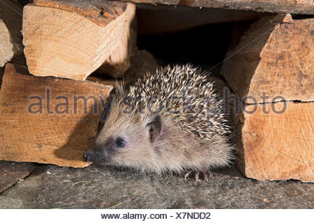 European hedgehog (Erinaceus europaeus), Tyrol, Austria - Stock Photo