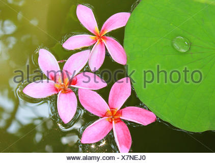 Pink frangipani flowers on water with lotus leaf - Stock Photo