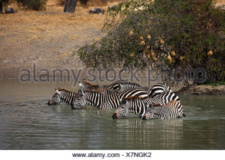 Zebras (Equus quagga) standing in water and drinking at a waterhole, Tarangire National Park, Tanzania - Stock Photo