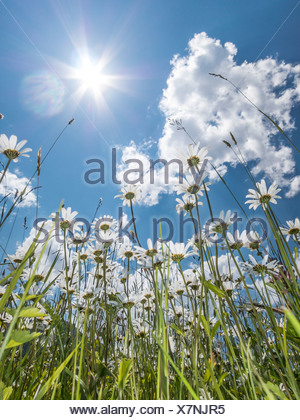 Daisies (Leucanthemum vulgare) from below, flower meadow, worm's eye view, blue summer sky and sun with rays - Stock Photo