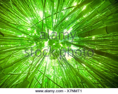 Low angle view of a bamboo canopy, Maui, Hawaii, America, USA - Stock Photo
