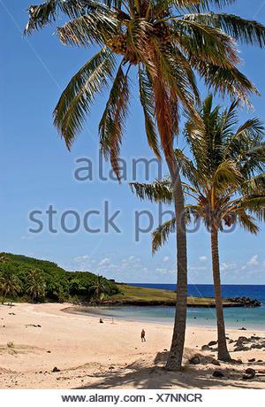 coconut palm (Cocos nucifera), palms on sandy beach, Chile, Osterinseln - Stock Photo