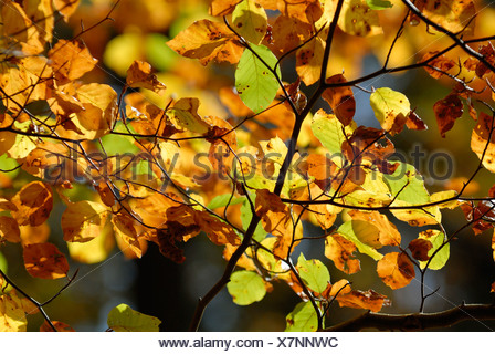 European beech leaves in autumnal colors - Germany, Europe.Germany, Europe. - Stock Photo