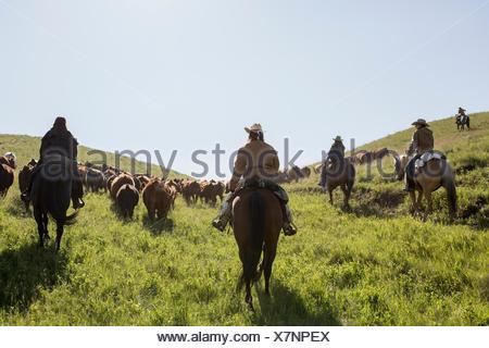 Female ranchers on horseback herding cattle sunny field - Stock Photo