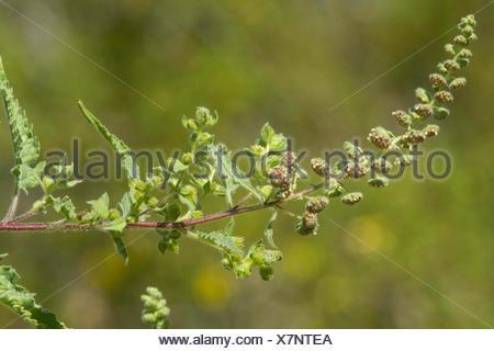 burweed, ragweed (Ambrosia spec.), inflorescence, USA, Arizona - Stock Photo